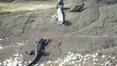 Galapagos penguin marine iguana 5