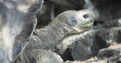 Galapagos Tortoise walking CU