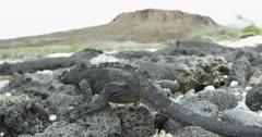 Galapagos Marine Iguana handheld slowmo2