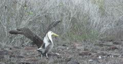Galapagos Waved Albatross starting to walk