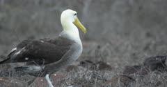 Galapagos Waved Albatross crossing frame walking