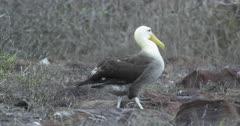 Galapagos Waved Albatross crossing frame walking 2