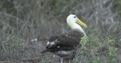 Galapagos Waved Albatross crossing frame walking 3
