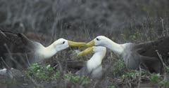Galapagos Waved Albatross mating behavior