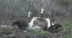 Galapagos Waved Albatross mating behavior 3