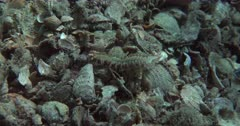 A Bristle Worm (Polychaeta) Crawls along a Pebbly bottom