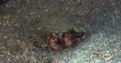 A Hermit Crab Rests a Pebbly bottom