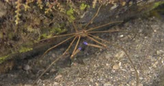 A Yellowline  Arrow Crab Crab Rests a Pebbly bottom while feeding