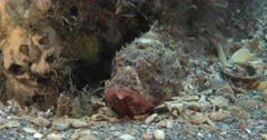 A Stone Fish Hides on a Pebbly bottom