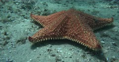 A Bahama or Cushion Sea Star (Oreaster reticulates) Crawls over a Pebbly bottom