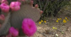 Joshua Tree National Park Scenics with Spring Flowers - Focus Pull