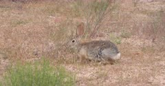 Joshua Tree National Park Scenics with Desert Rabbit