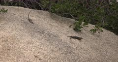 Joshua Tree National Park Scenics with Blue Bellied Lizard Courtship Behavior