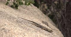 Joshua Tree National Park Scenics with Blue Bellied Lizard Courtship Behavior