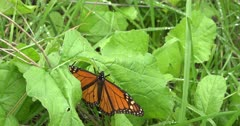 Monarch Butterfly Migration with individual that has fallen to the forest floor