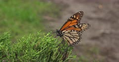 Monarch Butterfly Migration with injured individuals that have fallen to the forest floor