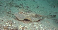 yellow stingray (Urobatis jamaicensis) swims over a flat rubbly bottom
