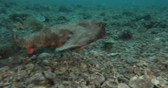 Shortnose Batfish (Ogcocephalus nasutus) on a rubbly bottom in South Florida