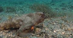 Shortnose Batfish (Ogcocephalus nasutus) on a rubbly bottom in South Florida