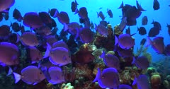 School of Blue Tang Surgeonfish swarming over a coral reef