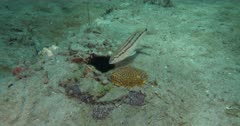 A Sand Perch (Diplectrum formosum) displays a striped variation