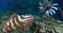 A Nassau Grouper (Epinephelus striatus) interacts with a lion fish