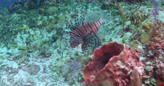 A lone lion fish (Pterois) Swimming near a sponge