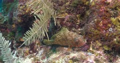 Lock shot of a Red Hind (Epinephelus guttatus) on a small coral and rock outcrop