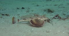 A Sea Robin (Prionotus) Crawls & swims along a Pebbly bottom