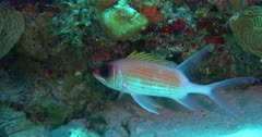 A Squirrel Fish living on a coral reef