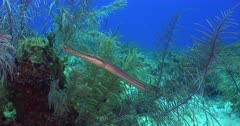 A Trumpet Fish living on a coral reef
