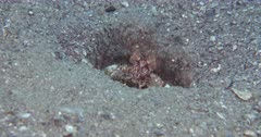 A Mantis Shrimp in a hole on a Pebbly bottom
