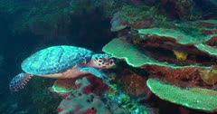 Green Sea Turtles (Chelonia mydas) Traveling & Foraging, Apparently Unconcerned about Scuba Divers