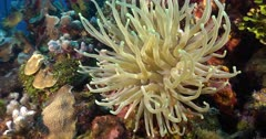Giant Caribbean Sea Anemone (Condylactis Gigantea) grows on various surfaces