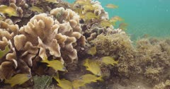 Thin leaf lettuce coral (Agaricia tenuifolia) is home to a school of Tropical fish and Juvenile Grunts