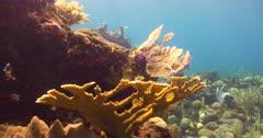 Elk Horn Coral (Acropora palmata) on a Caribbean Reef