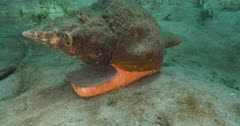 A Horse Conch (Triplofusus giganteus) glides along a sandy bottom in search of food