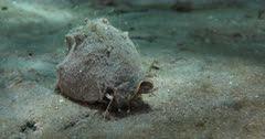 A Milk Conch (Strombus costatus) forages on a shallow sand flat