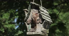 Chipping Sparrows (Spizella passerina) Are a common songbird in New England that Often nest and rear young in bird houses