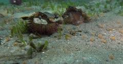 Green Sea Urchin or Decorator Urchin (Lytechinus variegatus) covered in marine detritus