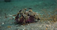 Green Sea Urchin or Decorator Urchin (Lytechinus variegatus) covered in marine detritus