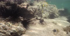 Long Spined Sea Urchins (Diadema antillarum) in a tropical intertidal zone