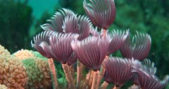 Social Feather Duster Worms (Bispira brunnea) on a coral reef