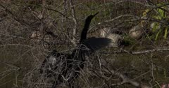 Anhinga dries wings in dead tree branches