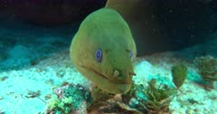 A green Moray Eel looks into camera port