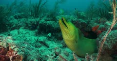 A large green Moray Eel on a rock coral reef