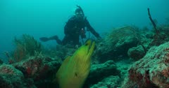 A large green Moray Eel on a rocky coral reef, diver in view, swims away