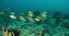 Reef Fish aggregate under ledge in turbid water, POV of camera approach