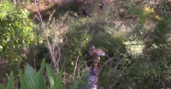 A Hawk Feeds on a small aquatic turtle