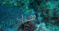 Green Sea turtle resting among coral heads